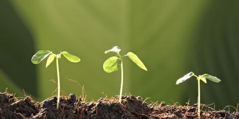 Three Seedlings in vegetable garden.