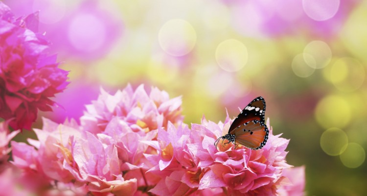 Majestic monarch butterfly on beautiful pink bougainvillea flowers